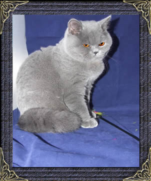 british shorthairs cats and kittens