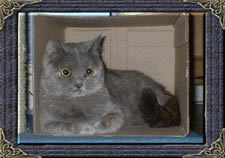 Bluecream british Shorthair- Rosie