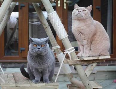 British  Blues kittens