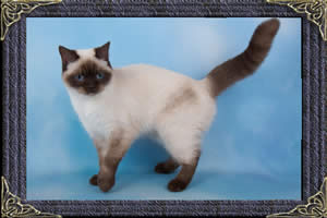British Shorthair cats - colourpointed british cat - puddin
